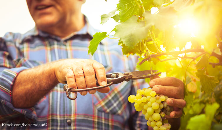 Man cutting grapes from a bush.