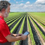 Farmer or agronomist examining carrot plant in field using tablet computer.